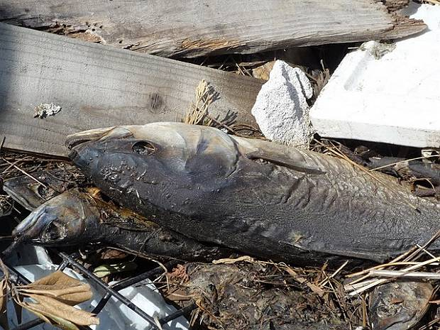 Rotting fish are a serious problem in the tsunami affected areas