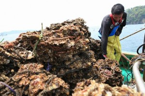 Oshika peninsula is famous for oyster farming.